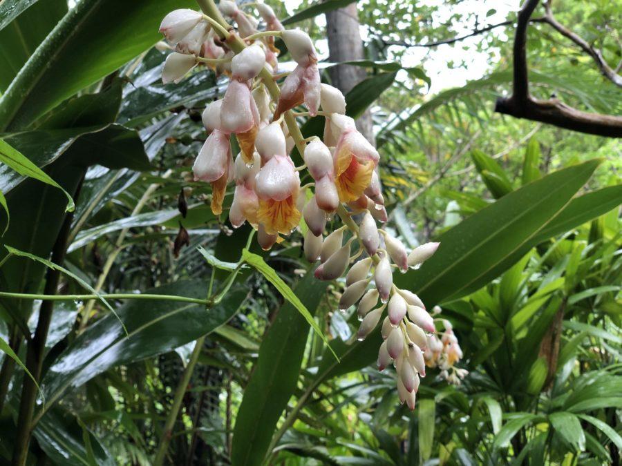 沖縄の代表花のひとつ月桃